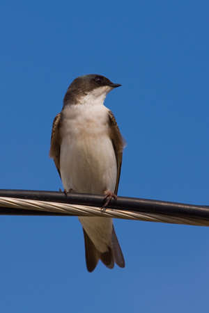 A Tree Awallow -Tachycineta bicolor - is perched on an electric wire,   enjoying a warn and sunny day. Quebec, Canada. 版權商用圖片