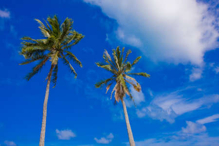 2 tall palm trees growng under the perfect climate of Oahu, Hawaii