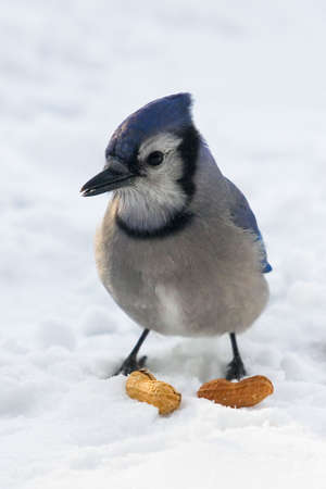 A blue jay standing on snow is keeping an eye on its lunch