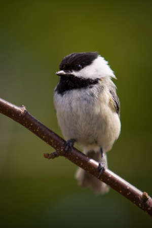A black-capped Chickadee, also called Poecile Atricapillus, is perched on a branch