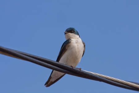 A Tree Swallow -Tachycineta bicolor - is perched on an electric wire by a sunny day. Quebec, Canada. 版權商用圖片