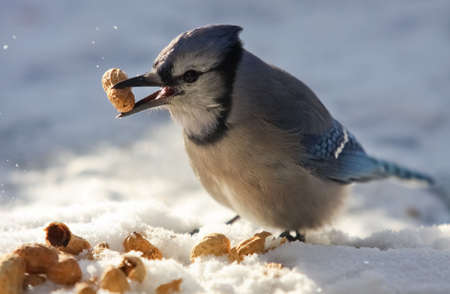 A blue jay - Cyanocitta cristata - is holding a peanut in its beak by a cold winter day. Quebec, Canada.