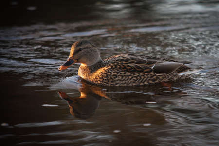 A female mallard duck sees her reflection in the water. St-Charles River, Quebec, Canada.