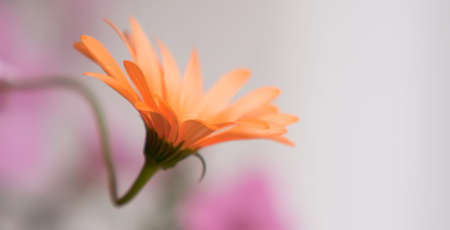 A delicate African Daisy -osteospermum Kenai Pineapple Blush - close-up in late afternoon soft light 版權商用圖片