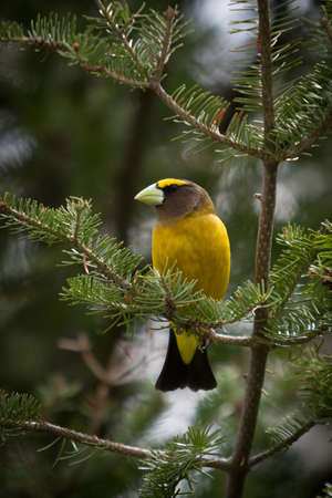 A colorful evening grosbeak is perched on a fir tree branch  - Quebec, Canada