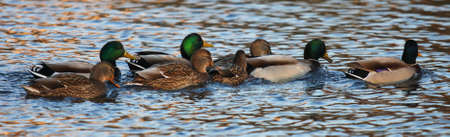 A group of mallard ducks - Anas platyrhynchos - late afternoon light - St-Charles River, Quebec, Canada. photo