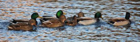 A group of mallard ducks - Anas platyrhynchos - late afternoon light - St-Charles River, Quebec, Canada. 版權商用圖片