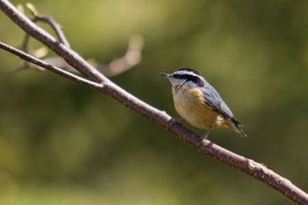 A Red-breasted Nuthatch -Sitta canadensis - perched on a branch, Quebec, Canada