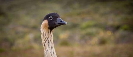 A closeup of an Endangered Hawaiin Goose called Nene -Branta sandvicensis - Haleakala Volcano National Parc - Maui Hawaii.