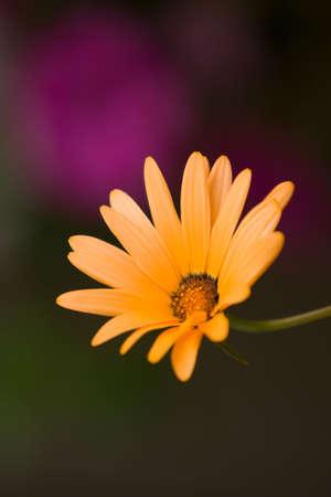 A beautiful African Daisy -osteospermum Kenai Pineapple Blush - vertical closeup on colorful background 版權商用圖片