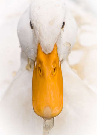 A Domestic White Duck splashed Dirty Water on its head - Close-up portrait. Imagens