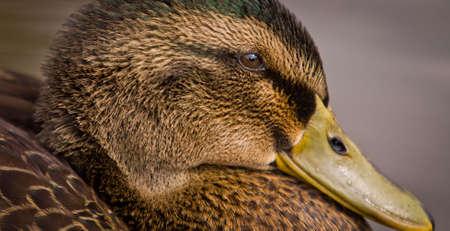 A Female Mallard duck - Anas platyrhynchos - portrait.  Horizontal profile close-up 版權商用圖片