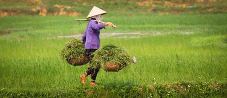 grain fields: A vietnamese woman is at work in a ricefield, keeping balance while carrying heavy load.
