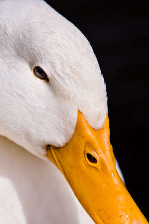 Close-up portrait of a domestic white duck on a black background 版權商用圖片