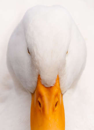 Close-up hi-key portrait of a domestic white duck staring at the camera. Quebec, Canada.