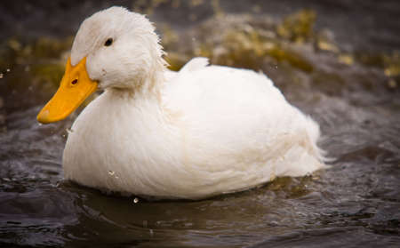 domestic: A domestic white duck  - Pekin Duck - is splashing dirty water.