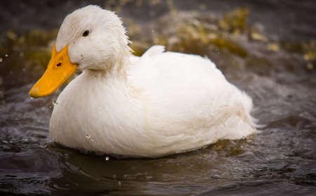 A domestic white duck  - Pekin Duck - is splashing dirty water.
