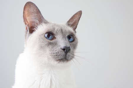 gray cat: Blue Point Siamese Cat posing on gray background - Close-up Portrait