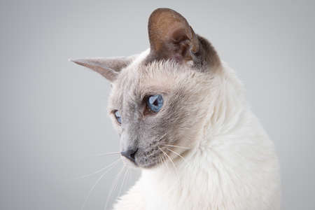 Blue Point Siamese Cat posing on gray background - Profile Portrait 版權商用圖片