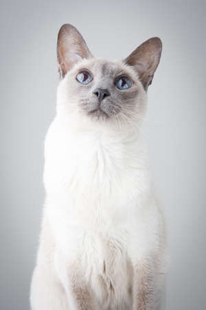 Blue Point Siamese Cat posing on gray background - Looking up with curiosity Stock Photo