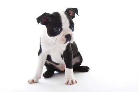 Male baby Boston Terrier on white, horizontal. 版權商用圖片