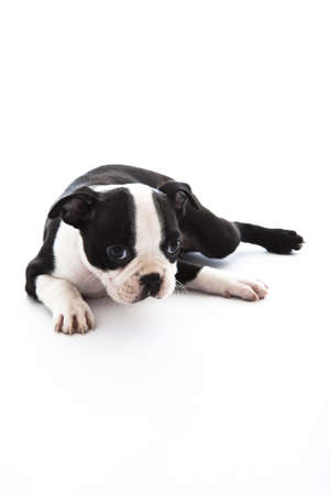 Male baby Boston Terrier on white, vertical. 版權商用圖片