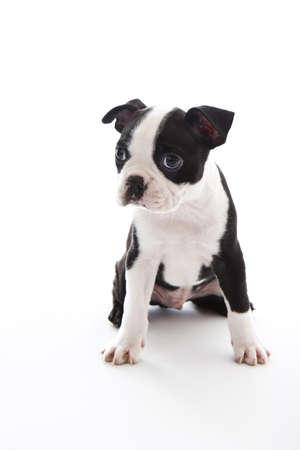 boston terrier: Male baby Boston Terrier on white, vertical. Stock Photo
