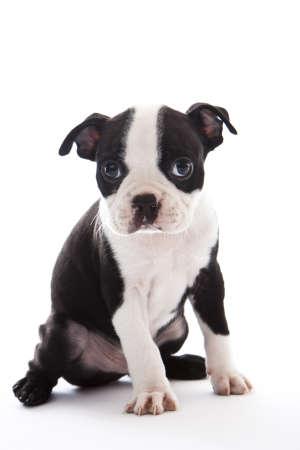 short hair dog: Male baby Boston Terrier on white, vertical. Stock Photo