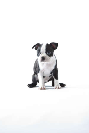 Male baby Boston Terrier on white, vertical. photo