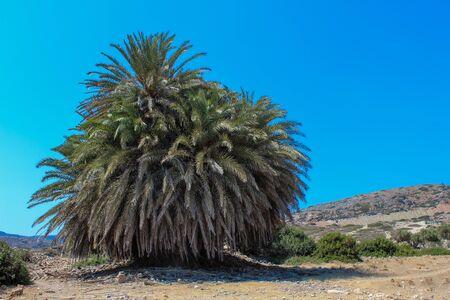 gigantesque: Vieille palme gigantesque dans l'ancienne ville de Itanos - Cr�te, Gr�ce, Itanos - ville dorique