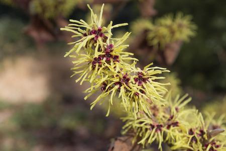 hamamelis: Blooming Hamamelis virginiana