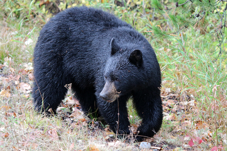 Large healthy Black Bear walking, turns to search for cub Stock Photo
