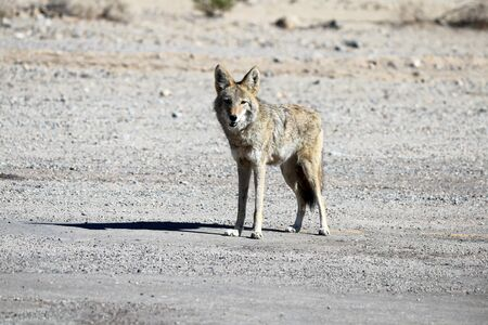 Lone desert coyote looking directly at camera