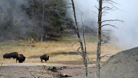 Herd of American bison gathering at geysers
