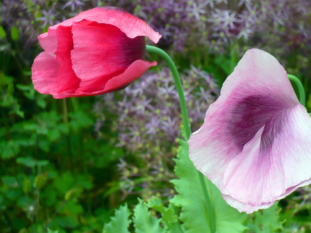 paternal: Two Twin Trumpets, Beautiful English country garden flowers of pastel shades of lauvendeur and magenta