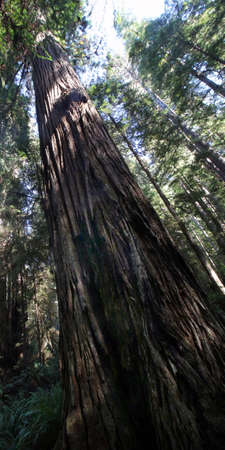 into: Close up of one single redwood tree reaching up into the sky in the forest Stock Photo