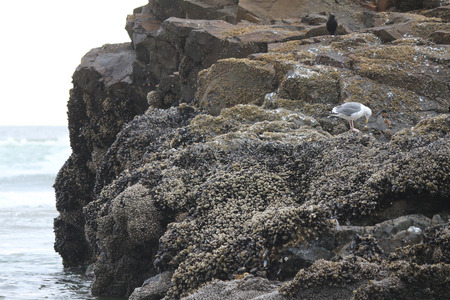inclement weather: Seagull taking shelter on large rock formation of Pacific Coastline. Stock Photo