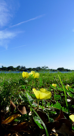 Yellow Buttercups growing in field of green with blue sky.