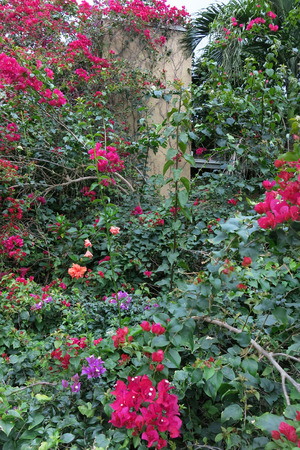 felice: Bougainvillea on castle wall, bright blooms, lush wall of color and life. Stock Photo