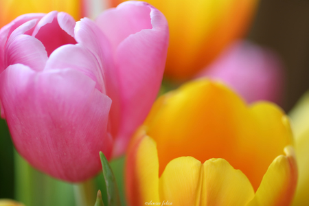 Close up detail of 2 Beautiful tulips with muted colorful soft tulip background of color