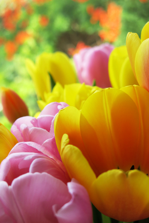 faerie: Fine detail of beautiful tulips in a Spring flower garden in sunlight, translucent pedals
