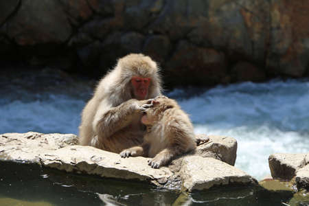 2 Macaques in Japan bathe in hot springs 스톡 콘텐츠