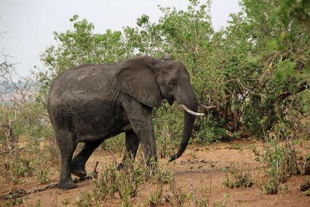 Elephant in Kruger National Park in South Africa