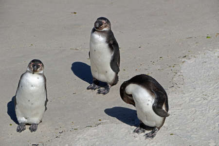 penguins on the beach of Cape Town in South Africa Stok Fotoğraf
