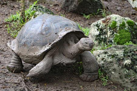 Turtle in the Galapagos Islands Banco de Imagens