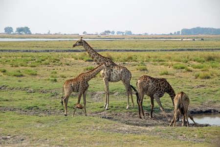 Giraffes at the waterhole in Botswana Chobe NP Zdjęcie Seryjne