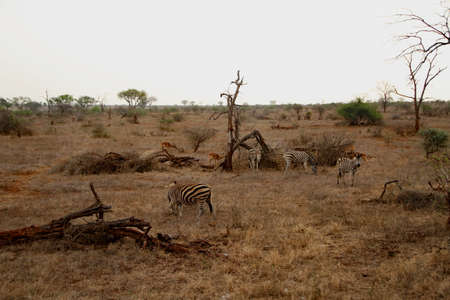 Zebras and antelopes in the National Park in South Africa nature