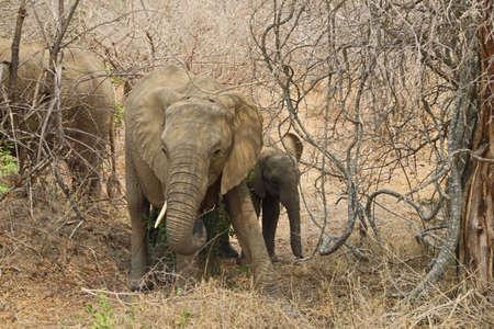 Elephants at Kruger National Park in South Africa Nature