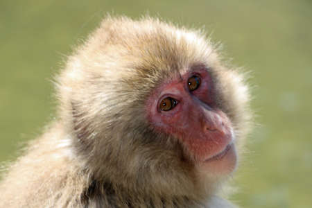 Japanese macaque at hot springs in Japan Stok Fotoğraf
