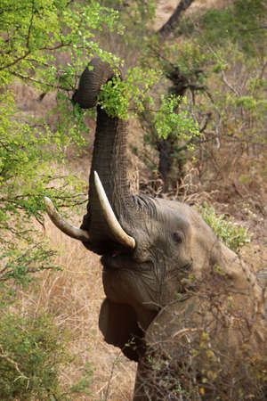 Elephant in Kruger National Park South Africa eating a tree